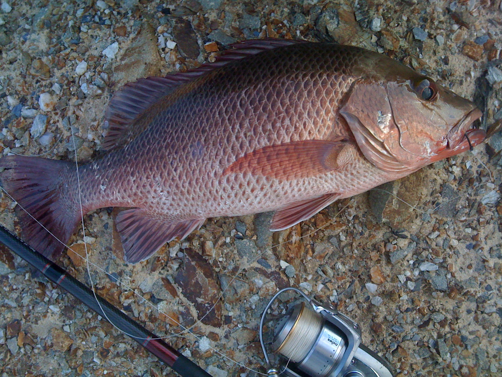 Mangrove jack on the nsw north coast i fish therefore i am for What is a jack fish